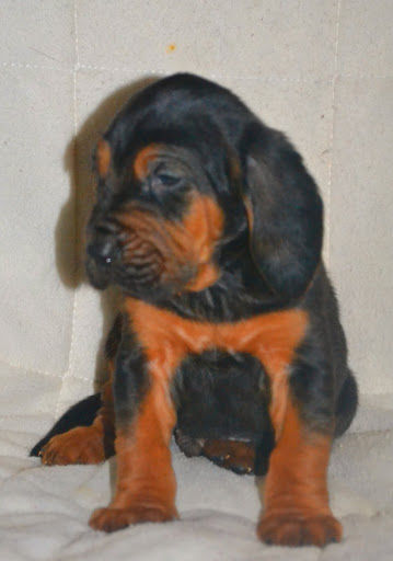 Website Owner Lookup >> Leath's AKC Bloodhounds | Bloodhound Breeder ...