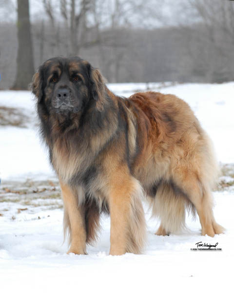 Large Dog Breed Puppies