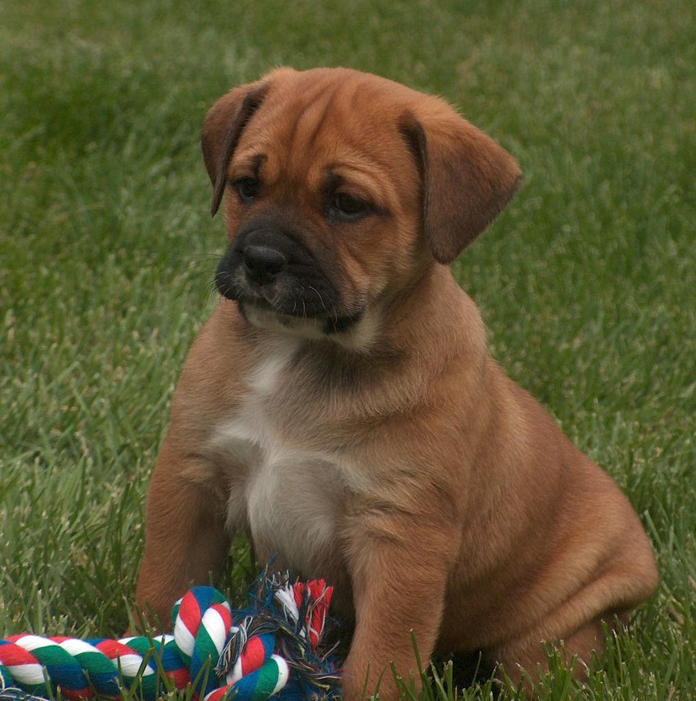 Wentworth Bulladors | Bulldog Breeder | Springview, Nebraska
