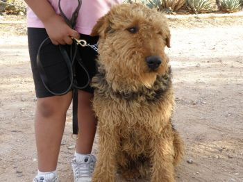 Espinozas Airedales Airedale Terrier Breeder Muleshoe Texas