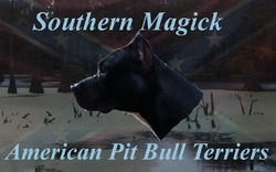 Southern Magick American Pit Bull Terriers
