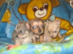 Broughton's Chihuahua Babies
