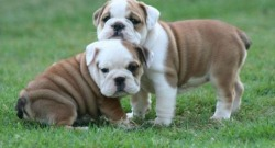 Linda Bully Puppies