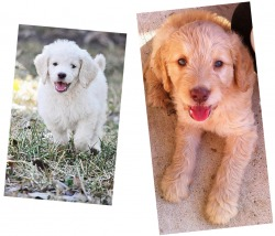 Mary Ann's Goldendoodles