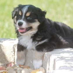 Dog Breeders In Kansas