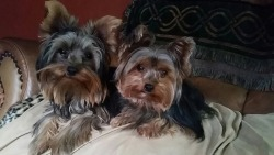 Yorkies by Design