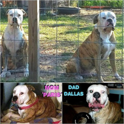 Texan American Bulldogs