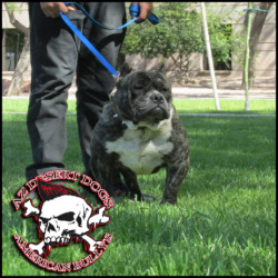 ARIZONAS BEST-KING OF BULLYS Home to the Best Bred American Bullys l Short & Heavy Pitbull Terriers