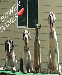Great Dane Dog Breeders