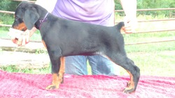 TKS Royal Dobermans