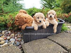 Goldendoodle Dog Breeders