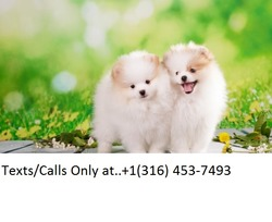 Teacup Toy Pomeranian Puppies For Sale