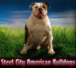 Steel City American Bulldogs