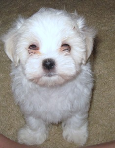 heathers heavenly maltese