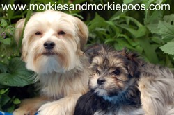 Morkies and Morkie Poos
