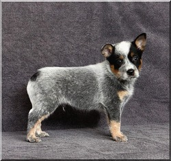 JonVers Australian Cattle Dogs