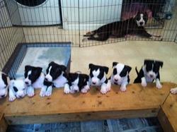 Spectrum Kennels   American Staffordshire Terrier Breeder ...