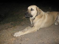 Kangal Dog Dog Breeders
