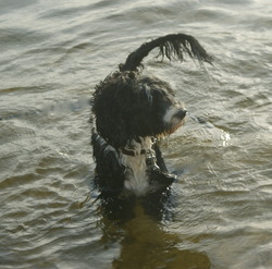 portuguese water dogs at ricelake