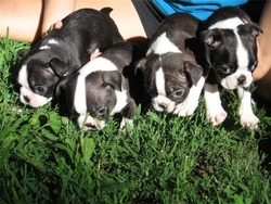 Jorgenson Boston Terriers
