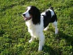 First and Ten Springer Spaniels
