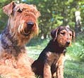 Airedales Of Companions Laire