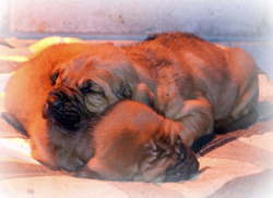 Leath's AKC Bloodhounds