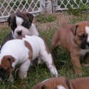 Greenly's Olde English Bulldogges