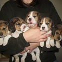 A-Quality Beagles, Reg'd.