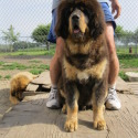 Kesang Camp Tibetan Mastiffs