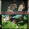 Crenshaw's American Pit Bull Terriers