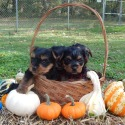 Cotton Creek Puppies