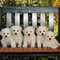 The Blessed Bichons