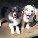 Echolight Aussies