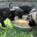 Tennessee Labradors