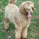 Brewer's Poodles and Labradoodles