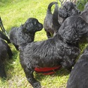 Paragon Puppies-Poodles and Doodles of Clarks Hill