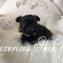 Luxurious Shih tzu