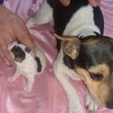 Bonnies Rat Terriers