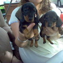 Deb's heavenly dachshunds