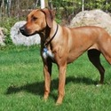 Cape Ridge Rhodesian Ridgebacks