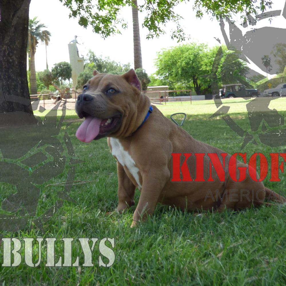 Arizonas Best King Of Bullys Home To The Best Bred