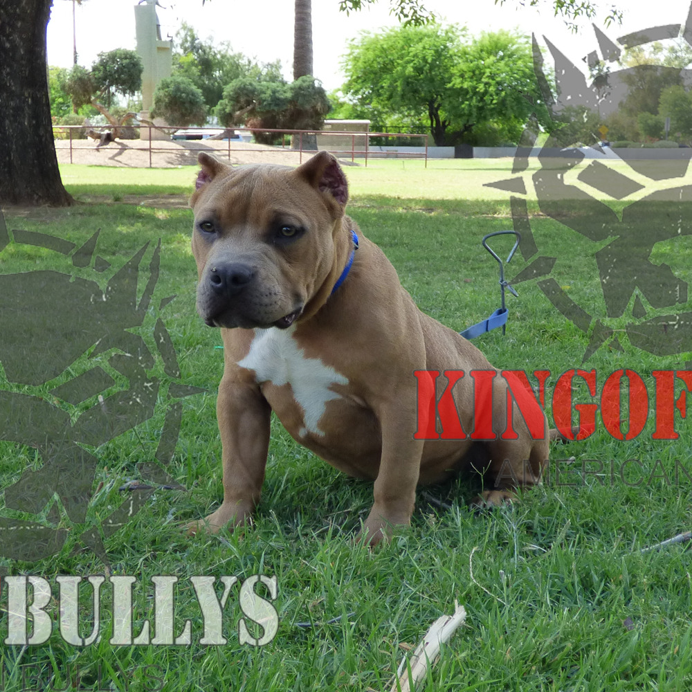 Can American Bullys Breed Naturally