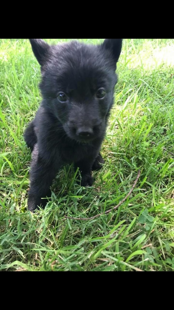 Puppies For Sale Free Dog Breeder Advertising