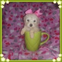 Mille - a Maltipoo puppy
