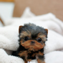 Sassy - a Yorkshire Terrier puppy