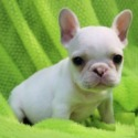 price - a French Bulldog puppy