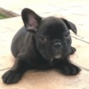 Brent - a French Bulldog puppy
