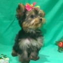 Nina - a Yorkshire Terrier puppy