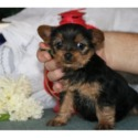 AKC - a Yorkshire Terrier puppy